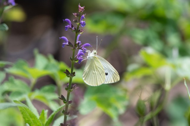 White butterfly on <em>Salvia</em> Photo © 2018 Ed Colonna