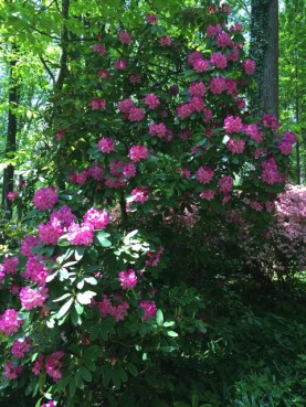 One of the Rhododendron crosses in Azalea Woods.
