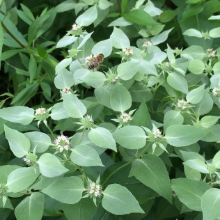 Bees are among the many pollinators that visit mountain-mint.