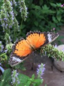 One of the numerous butterfly species nectaring on anise hyssop in the small conservatory.