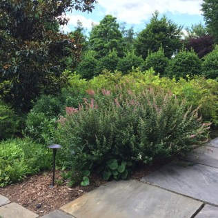 Steeplebush is attractive to butterflies, making it an excellent native substitute for invasive butterfly bush.