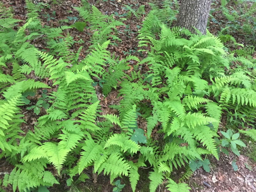 Dennstaedtia punctilobula (hay-scented fern) along one of the forested trails.