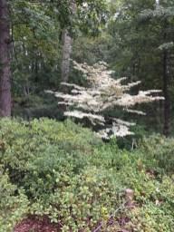 Cornus kousa 'Snowboy,' a specimen tree in the Azalea Garden.