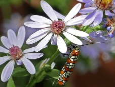 Ailanthus webworm moth feeding on Symphyotrichum cordifolium flowers in October. Photo © Mary Free, 2019-10-07, Arlington, Virginia.
