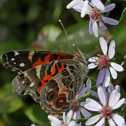 Female American lady butterfly feeding on Symphyotrichum cordifolium flowers in October. Photo © Mary Free, 2019-10-07, Arlington, Virginia.