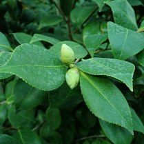Photo of Camelia sinensis buds.