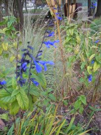 Black and blue salvia thrives in the Berm Garden.Photo © 2019 by Christa Watters