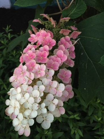 The decorative florets of a Hydrangea quercifolia panicle changing colors. Photo by Elaine L. Mills, 2018-06-18, private garden Arlington, Virginia.