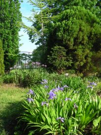 Iris and allium paired together - the iris are in the berm, and across the path in the background, the alliums are next to the Cedars by the path.Photo © 2019 by Christa Watters