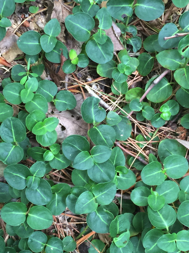 Detail of Mitchella repens (Partridge-berry) leaves in June. Photo by Elaine L. Mills, 2015-06-17, National Arboretum.