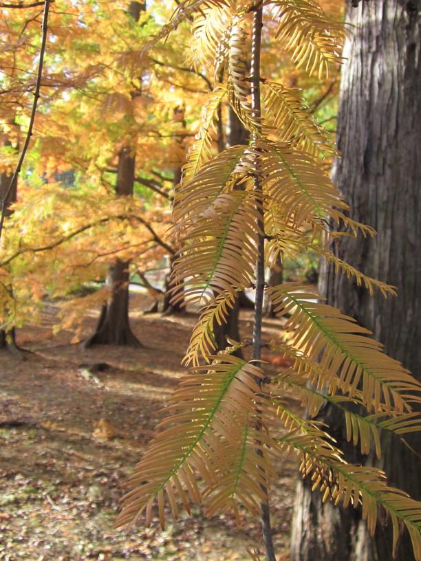 Taxodium distichum (Bald Cypress) foliage detail in November. Photo by Elaine L. Mills, 2014-11-08, National Arboretum.
