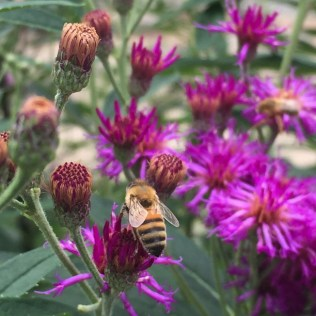 Detail of Vernonia noveboracensis (New York Ironweed) flowers with bee. Photo by Elaine L. Mills, 2018-07-28, private garden, Arlington, Virginia.