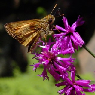 Vernonia noveboracensis (New York Ironweed) flowers with Zabulon skipper mid-summer. Photo © Mary Free, 2010-08-27, Quarry Shade Garden, Bon Air Park.