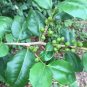 Ilex opaca (American holly) fruit and foliage in June. Photo © Elaine L. Mills