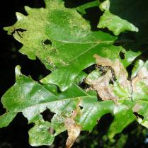 Quercus Alba leaves. Photo © 2014 Christa Watters.