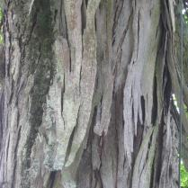 The bark of shagbark hickory peels in 1 to 3-foot strips that remain partially attached. Photo © Elaine Mills