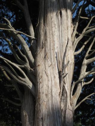 The fibrous bark of eastern redcedar peels off in narrow strips. Photo © Elaine Mills