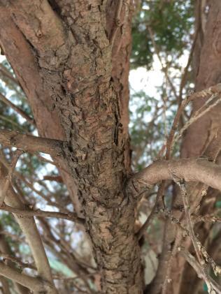 Arborvitae has fibrous, reddish-brown bark. Photo © Elaine Mills
