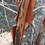 The exfoliating bark of oakleaf hydrangea reveals cinnamon brown inner bark with prominent round lenticels. Photo © Elaine Mills