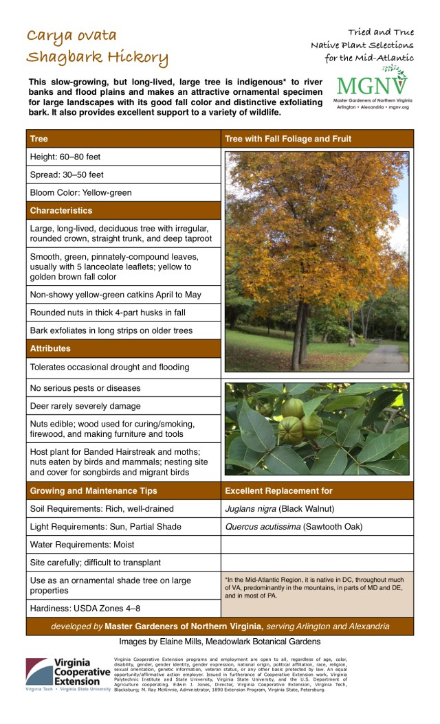 Height: 60–80 feet, Spread: 30–50 feet. Bloom Color: Yellow-green. Large, long-lived, deciduous tree with irregular, rounded crown, straight trunk, and deep taproot. Smooth, green, pinnately-compound leaves, usually with 5 lanceolate leaflets; yellow to golden brown fall color. Non-showy yellow-green catkins April to May. Rounded nuts in thick 4-part husks in fall. Bark exfoliates in long strips on older trees. Tolerates occasional drought and flooding. No serious pests or diseases. Deer rarely severely damage. Nuts edible; wood used for curing/smoking, firewood, and making furniture and tools. Host plant for Banded Hairstreak and moths; nuts eaten by birds and mammals; nesting site and cover for songbirds and migrant birds. Soil Requirements: Rich, well-drained. Light Requirements: Sun, Partial Shade. Water Requirements: Moist. Site carefully; difficult to transplant. Use as an ornamental shade tree on large properties. Hardiness: USDA Zones 4–8. Excellent Replacement for Quercus acutissima (Sawtooth Oak) and Juglans nigra (Black Walnut). In the Mid-Atlantic Region, it is native in DC, throughout much of VA, predominantly in the mountains, in parts of MD and DE, and in most of PA.