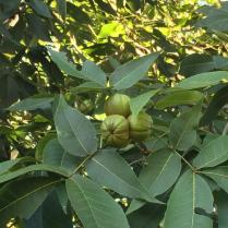 Carya ovata fruit in August. Photo © 2017 Elaine L. Mills