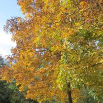 Carya ovata fall foliage display in October. Photo © 2014 Elaine L. Mills
