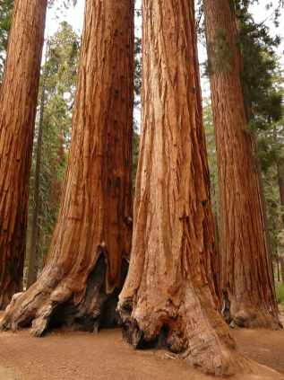 Sequoia: The bark of giant redwood is two feet thick in mature specimens.