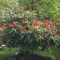 Aesculus pavia (Red Buckeye) shrub in flower at Glencarlyn Library Garden. Photo © 2019 Elaine Mills