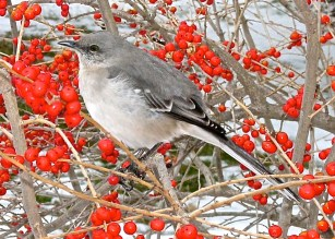 Ilex_verticillata_'Red_Sprite'_with_Northern_mockingbird_Feb_MMF