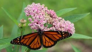 Monarch_butterfly_Asclepias_incarnata_swamp_milkweed_July_HS_CG