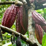 Theobroma cacao, also called the cacao tree and the cocoa tree. Tanzania, Zanzibar Photo © 2018 Linda De Volder