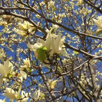 Magnolia 'Elizabeth' flowers.