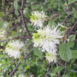 Fothergilla gardenii (Dwarf fothergilla) blooming in April.
