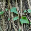 Invasive: English ivy vines and aerial roots.Photo © Mary Free