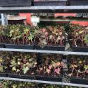 Invasive: And they are STILL selling English ivy at local nurseries . . . Photo © MGNV