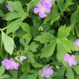 Wild geranium has deeply-lobed palmate leaves.