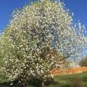 Invasive: Callery pear blooming in April.Photo © Elaine Mills