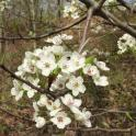 Invasive: Close up of Callery pear blooming in April.Photo © Elaine Mills