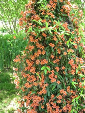 Bignonia capreolata (Cross-vine) in full bloom at Simpson Gardens.Photo © Christa Watters
