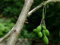 Chionanthus virginicus (white fringetree) bark and immature fruit. Photo © Mary Free