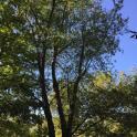 Prunus serotina (Black Cherry) at Meadowlark Botanical Gardens in September.Photo © Elaine Mills