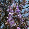 Princess Tree Paulownia tomentosa) branch in bloom.