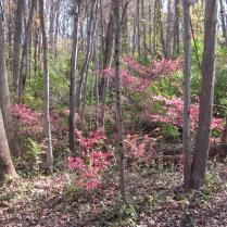 Burning bush can dominate the understory of woodlands.