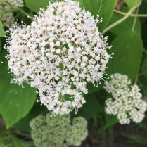 Wild hydrangea flowers attract many pollinators.