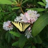 Rosebay blossoms are visited by swallowtail butterflies.