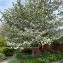 Favorite hawthorn tree in full bloom, spring 2020