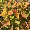 Foliage of ninebark 'Amber Jubilee.'