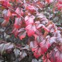 Fall color of ninebark 'Seward.'