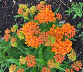 Asclepias tuberosa (Butterfly-weed) buds and flowers. Photo by Elaine L. Mills, 2017-05-29, Glencarlyn Library Community Garden.