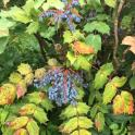 Leatherleaf Mahonia b(Mahonia bealei) berries in May. Photo © Elaine Mills